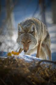 Can Coyotes See Red Light Urban Coyotes Keeping Your Pets Safe