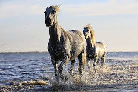 black mustang horse 2 black horse running on body of water under sunny sky free