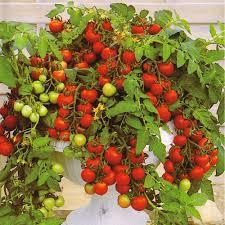 blight resistant tomatoes at thompson morgan