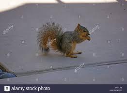 fox squirrel eating stock photos u0026 fox squirrel eating stock