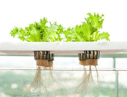 indoor vegetable gardening for fresh veggies by hydroponics system