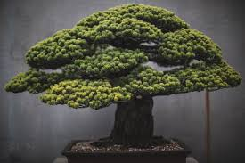in a documentation of the of bonsai trees