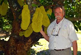 Ackee Fruit Tree - how plants tell the story of florida u0027s immigrant history wlrn