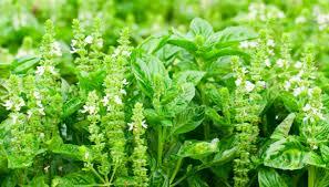 basilico in vaso malattie come coltivare il basilico in vaso dilei