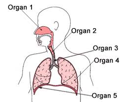 human body respiratory system science worksheet for grade 5 at