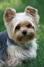 teacup yorkie haircuts pictures yorkshire terriers commonly called yorkies are little dogs with