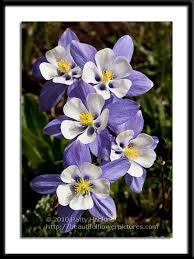State Flower Of Colorado - colorado blue columbine photo by patty hankins