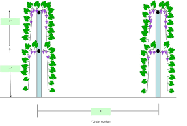 the two tier cordon training system for grapevines grape video 18