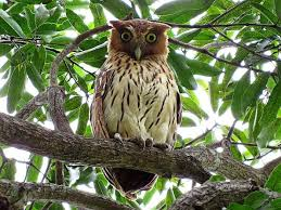 philippine eagle owl bubo philippensis owl perched on tree