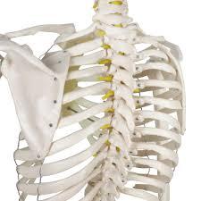 Halloween Skeletons Life Size by Anatomy Human Skeleton Choice Image Learn Human Anatomy Image