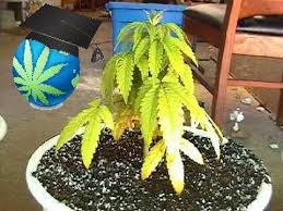 Recovering Cannabis Plants From High by Learn To Spot Nitrogen Deficiency In Cannabis Youtube
