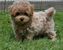bichon frise vs yorkie designer and mix puppies morkies maltipoos red maltipoos