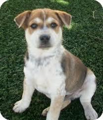 australian shepherd husky puppy sylvester adopted puppy tustin ca australian shepherd husky mix