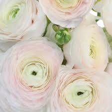 ranunculus flower italian cloony ranunculus