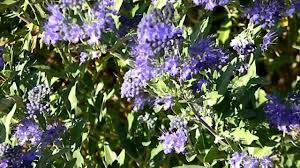 Bluebeard Flower - bees on the bluebeard bush youtube