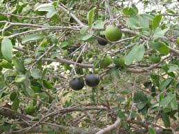 What Fruit Trees Grow In Texas - foraging texas persimmon texas