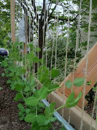 how to make a pea trellis bountiful boxes