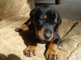 american eskimo dog for sale in kansas doberman pinscher puppies in missouri