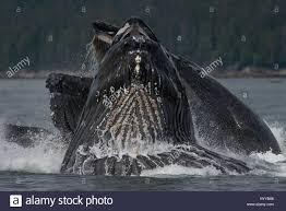 alaska usa humpback whales bubble net feeding spectacular