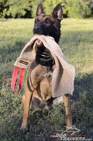 belgian shepherd how to train 179 best belgian malinois images on pinterest belgian malinois