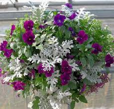 pansies and dusty miller in hanging container urban garden