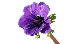 anemones flowers anemone flower pictures images and stock photos istock