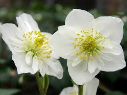helleborus niger world of flowering plants