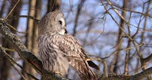how much do you about owls mnn nature