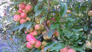 enjoying the harvest of home grown apples home grown wayhome