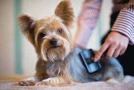 yorkie hair cut chart how to groom a yorkie at home yorkshire terrier grooming yorkiemag