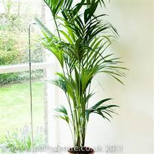 kentia palm indoor palm for sale howea forsteriana the palm