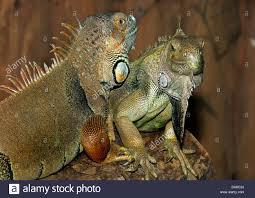 imágenes de iguanas verdes iguana verde común la iguana iguana iguana iguanas verdes en una