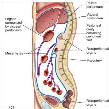 Urinary Bladder Anatomy And Physiology The Urinary Bladder Is Located Internal To The Studyblue