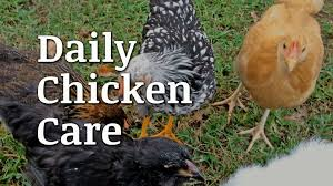 daily chicken care documentary youtube