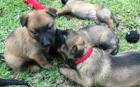 belgian shepherd kennels puppies for sale archives malinois usa