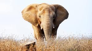 The Blind Men And The Elephant Analysis Tv Review Hbo U0027s U0027an Apology To Elephants U0027 U2013 Variety