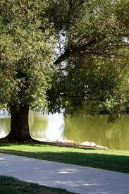 shade tree by lake picture free photograph photos domain
