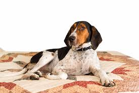 bluetick coonhound with cats treeing walker coonhound dog breed information pictures