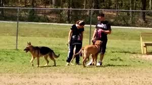 american bulldog x belgian malinois american bulldog and german shepherd playing youtube