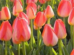 flowering bulbs for fall planting diy