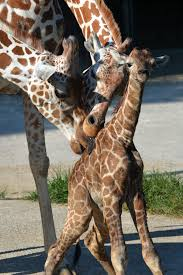 Zoo Lights Memphis Tn by It U0027s A Boy The Baby Boom Continues At The Memphis Zoo Whnt Com