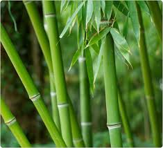 daily abundance quotes bamboo growth rate gardens and plants