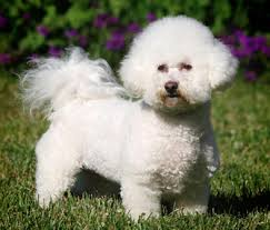 bichon frise therapy dog 5 reasons a bichon frise might be the right dog breed for you