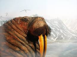 walrus wallpapers 40 walrus images for free 2mtx walrus wallpapers