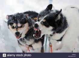 australian shepherd teeth dog baring teeth stock photos u0026 dog baring teeth stock images alamy