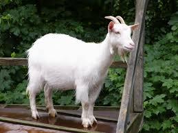 animali da cortile definizione capra tibetana pecore e capre caratteristiche della capra tibetana