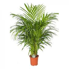 indoor plant send areca palm indoor plant flower gifts to dubai with flowers