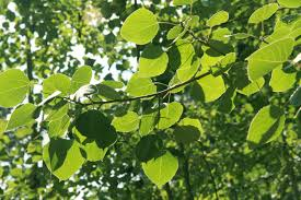 native plants of the pacific northwest paper birch canoe birch betula papyrifera pacific northwest