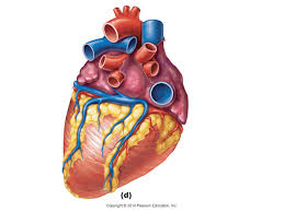 Human Anatomy Images Free Download Unlabelled Diagram Of The Heart Free Download Clip Art Free