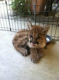 lions for sale mountain lion cub mountain lion mountain lion
